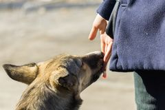 Feed the dog by hand royalty free stock images