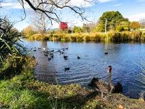Feed ducks Royalty Free Stock Image
