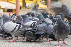 Feed-eating Street pigeons, the pigeons. The feed eating Street pigeons, the pigeons stock photo