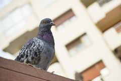 Feed-eating Street pigeons, the pigeons. The feed eating Street pigeons, the pigeons stock photos