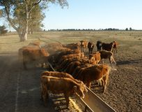 Feed lot. Small group of cattle in a feed lot Stock Image