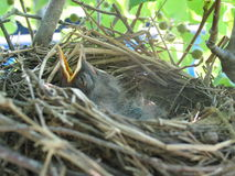 Feed me. Baby birds in nest waiting to be fed Royalty Free Stock Photography
