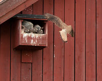 Feed me first. The female kestrel arriving to three hungry nestlings in the nest with a vole in her beak. Uppland, Sweden royalty free stock image