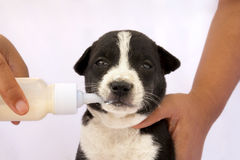 Feed orphan puppy with baby bottle Royalty Free Stock Images
