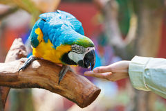 Feed the parrot. Someone is feeding the parrot. Concept for the human gets along(in peace) with the animal Royalty Free Stock Images