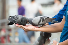Feed pigeons on hand Royalty Free Stock Photography