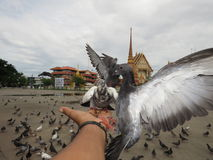 Feed the pigeons opposite the temple  the royal monastery. Stock Photography
