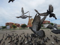 Feed the pigeons opposite the temple  the royal monastery. Stock Photo