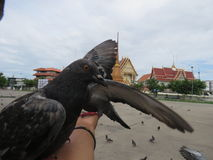 Feed the pigeons opposite the temple  the royal monastery. Royalty Free Stock Photography