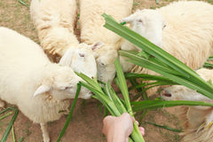 Feed sheep eating with grass Stock Photos