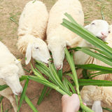 Feed sheep eating with grass Royalty Free Stock Photo