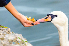 Feed swan woman helping hand Royalty Free Stock Photography
