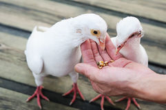 Feed white pigeon Royalty Free Stock Photos