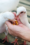 Feed white pigeon Stock Images