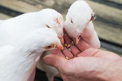 Feed white pigeon Stock Photo
