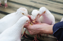 Feed white pigeon Stock Image