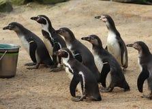 Feeded группа пингвина Humbolt Стоковое Изображение RF
