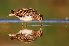 Feeding common snipe Royalty Free Stock Photography