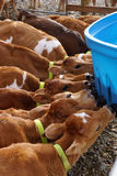 At the feeders. Jersey calves drinking milk at their feeder, Westland, New Zealand Stock Photo