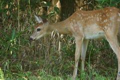 Jovem corça do Whitetail que alimenta em ervas daninhas. Imagem de Stock