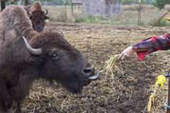 Feediing the bison. Royalty Free Stock Photography