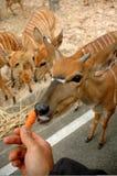 Feeding. Animal, chiang mai night safari Stock Photography