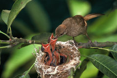 Feeding. A mom bird is feeding her children Royalty Free Stock Photo