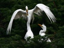 Feeding. The egret is feeding her childrens royalty free stock photo