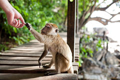FEEDING A MONKEY Stock Image