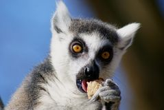Feeding adult katta lemur in portrait Stock Image