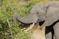 Feeding African elephant Stock Images