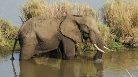Feeding African elephant stock video footage