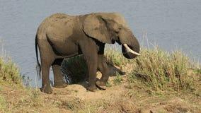 Feeding African elephant stock footage