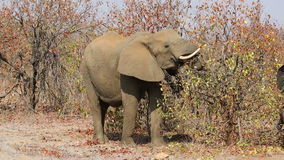 Feeding African elephant stock video footage