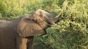 Feeding African elephant stock video