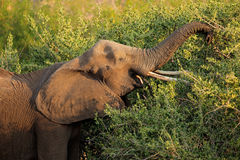 Feeding African elephant Royalty Free Stock Photography