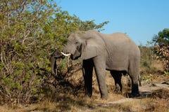 Feeding African elephant Stock Image