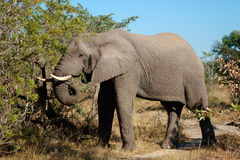 Feeding African elephant Stock Photos
