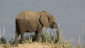 Feeding African elephant stock footage