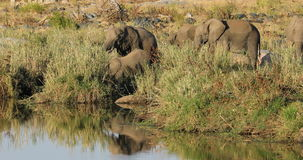 Feeding African elephants stock video footage