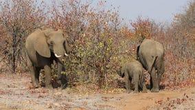 Feeding African elephants stock video footage