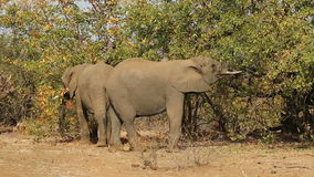 Feeding African elephants stock video