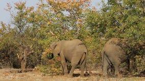 Feeding African elephants stock footage