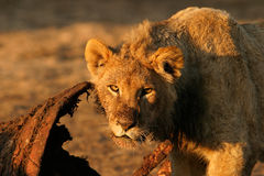 Feeding African lion. Young African lion (Panthera leo) feeding on a carcass, South Africa royalty free stock photography
