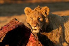 Feeding African lion Stock Images