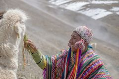 Feeding alpaca in Peru. VINICUNCA, PERU- OCTOBER 29: mountain guide in traditional wear feeds his alpaca at high altitude grounds in Vinicunca, Peru on October stock photos