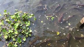 Feeding animal food to small fish in water pond. Close up feeding animal food to small fish in water pond stock video footage