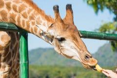 Feeding the animals, giraffes eat bananas at public zoo. stock image