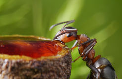 ant drinks strawberry syrup Stock Photography
