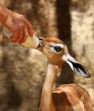 Feeding Antelope Stock Image